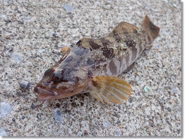 八戸港で釣れたアイナメ