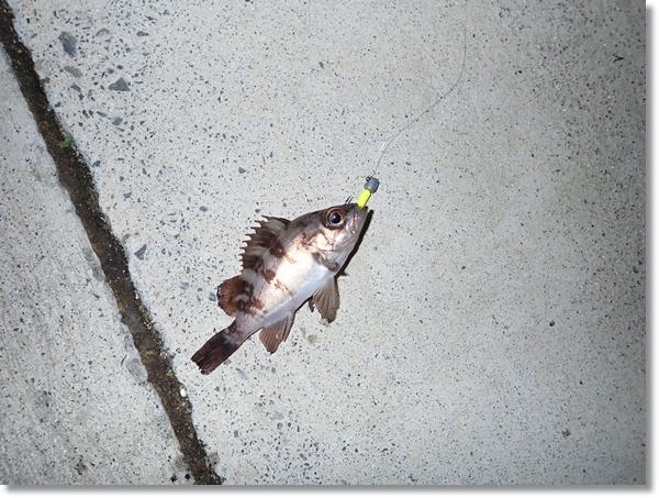 貞山堀で釣れた小さなメバル