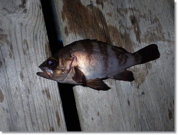 塩釜港で釣れたメバル