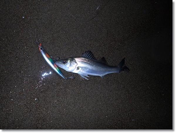 鳴瀬川で釣れたセイゴ