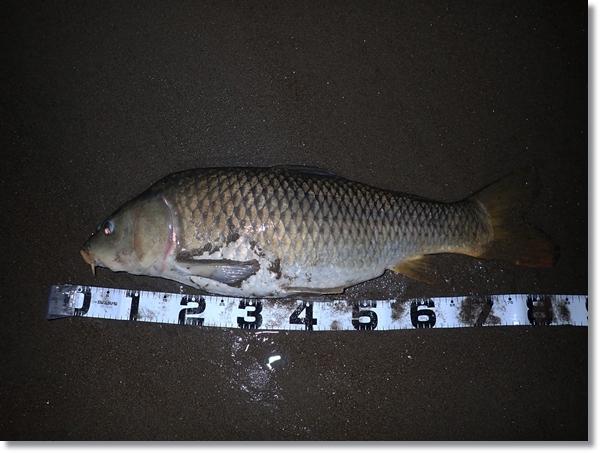 鳴瀬川河口で釣れた巨大コイ