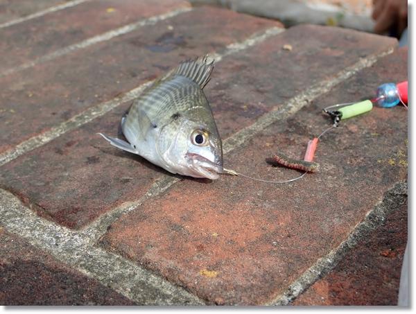 野蒜運河で釣れたクロダイ