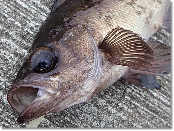 十三浜で釣れたメバル