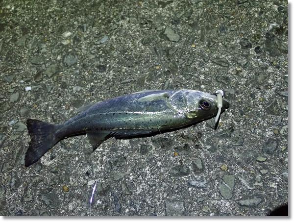 閖上漁港内ベビーサーディンで釣ったセイゴ