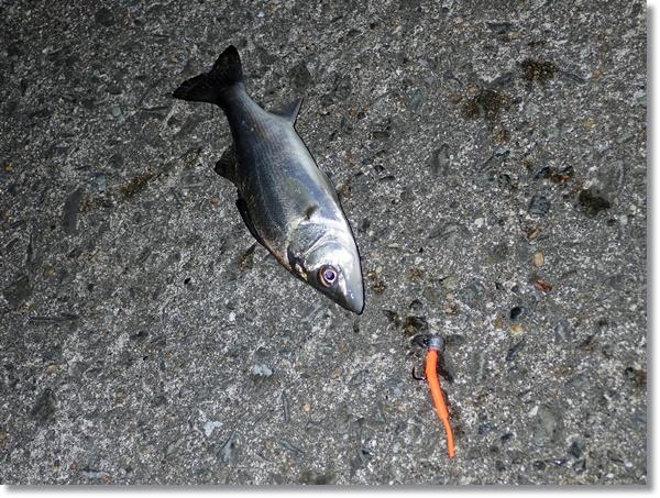 ベビーサーディンで釣ったセイゴ
