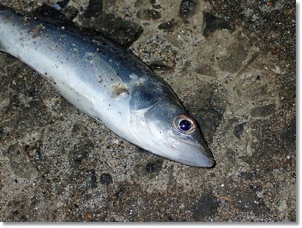 閖上漁港で夜釣れたセイゴのアップ