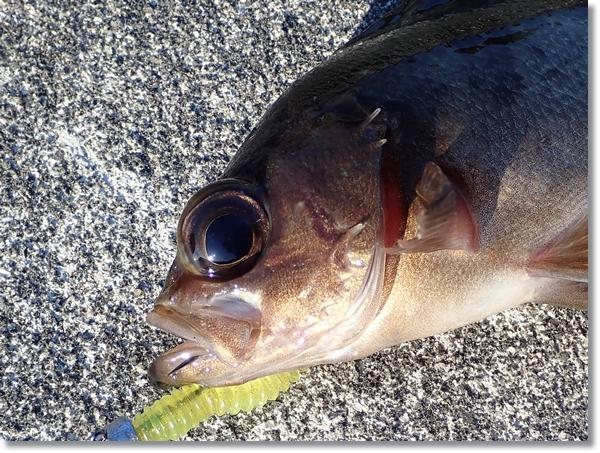 牡鹿半島で釣れた目玉の大きなメバル