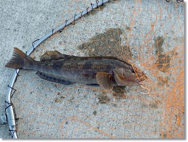牡鹿半島で釣ったアイナメ