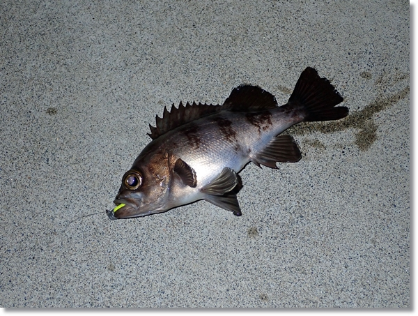 歌津漁港で釣ったメバル