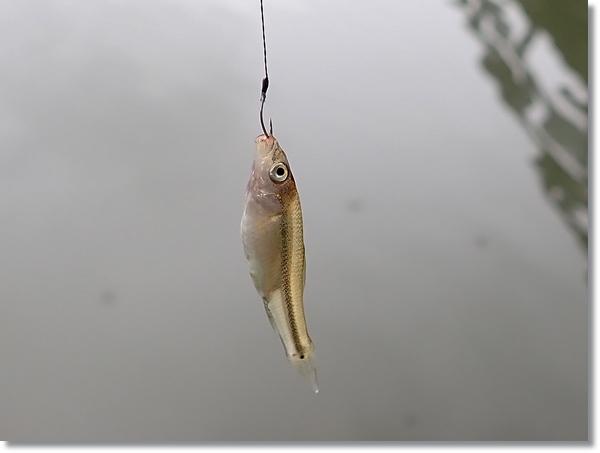 川内沢川で釣ったタモロコの幼魚