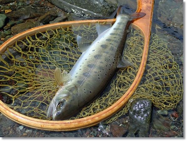 蔵王澄川で釣れた大ヤマメ