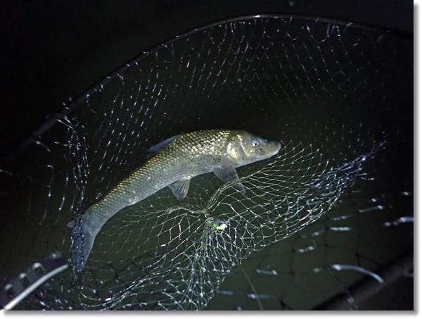 阿武隈川でルアーで釣った大きなニゴイ