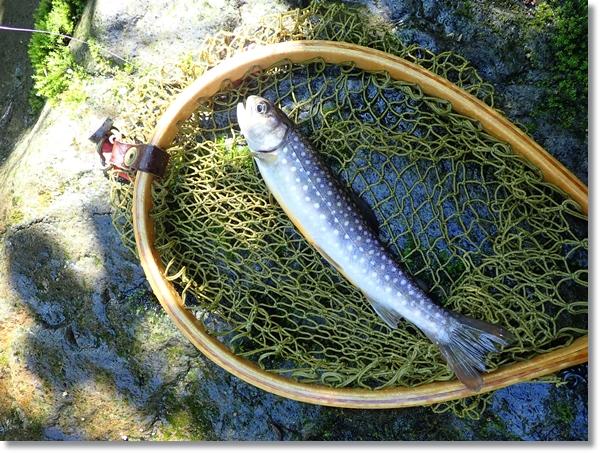 長谷倉川で釣ったイワナ