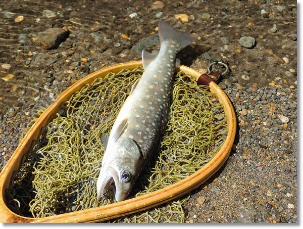 長谷倉川で釣った良型イワナ