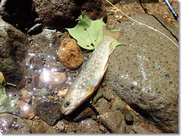 長谷倉川で釣れたイワナ
