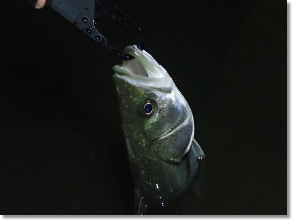 名取川落ち鮎パターンで釣れた晩秋シーバス