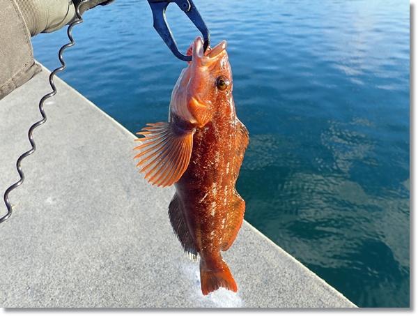 フィッシュグリップで持ち上げた12月に釣れたアイナメ、