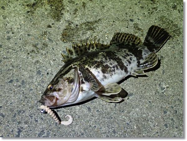 12月の閖上漁港で釣れたベッコウゾイ