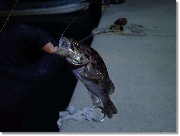 一月の十三浜でメバリング中に釣れた小さなクロソイ