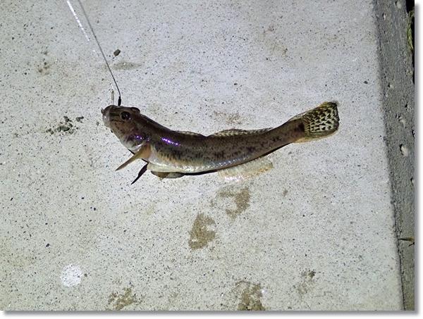 増田川で釣ったハゼ