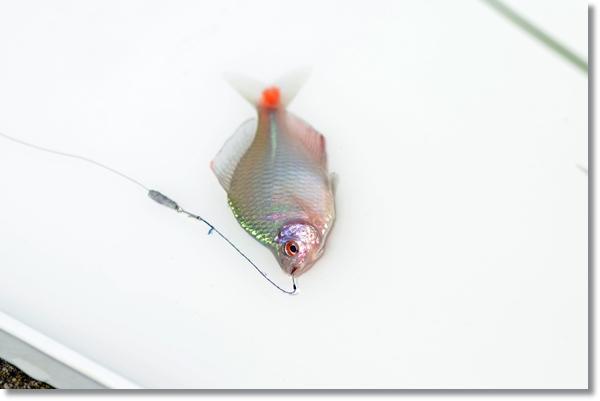 夏に釣れた大きなタイリクバラタナゴ雄