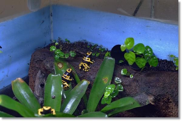 ビバリウム内のキオビヤドクガエル