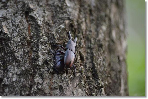 クヌギの木についたノコギリクワガタのペア