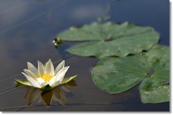 水面に咲いた一輪のヒツジグサ