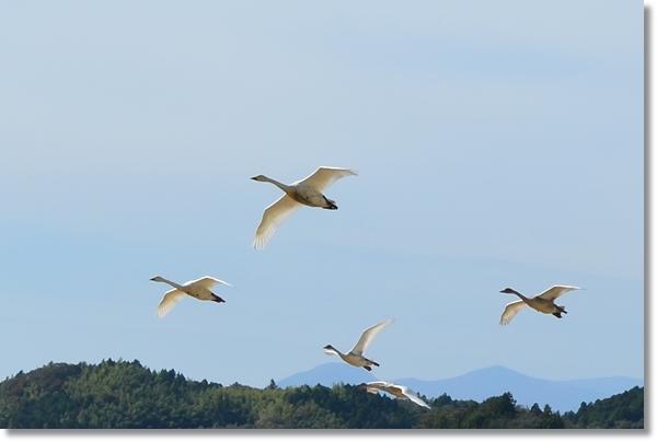 空を飛ぶ白鳥の群れ