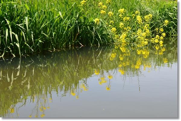菜の花が咲く水辺