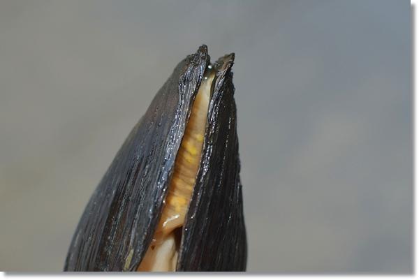 二枚貝の中に見える仔魚