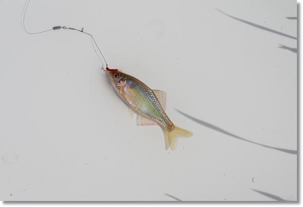 白いトレーにのった針をくわえたままのアカヒレタビラ