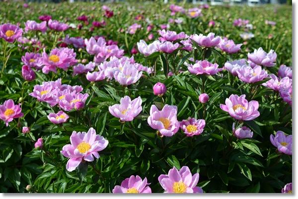 シャクヤクの紫色の花が沢山咲いている