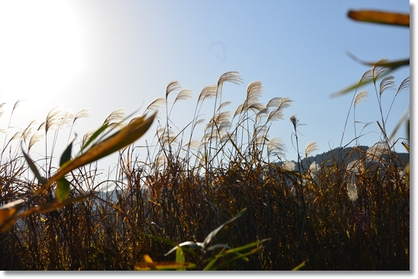 冬の青空にススキがある風景