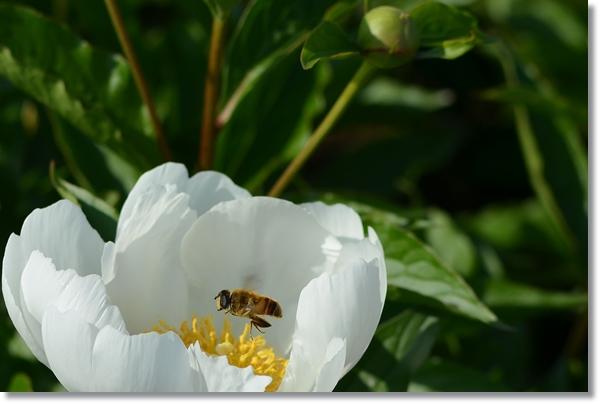 白いシャクヤクの花の上を飛ぶミツバチ