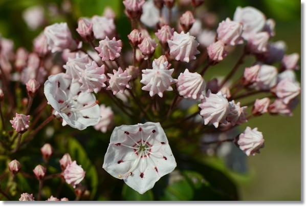 カルメリアの花