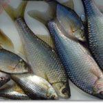 秋田タナゴ釣り