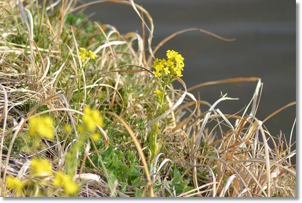 岸辺に咲いている菜の花