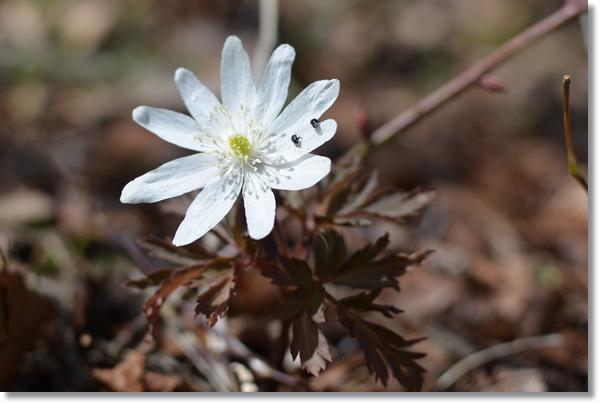 白い花を咲かせたキクザキイチゲ