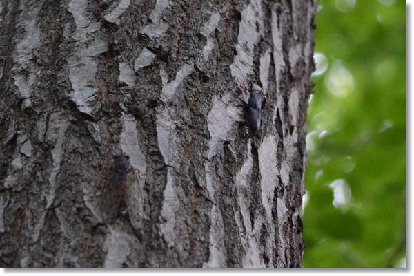 クヌギの木を登るコクワガタ