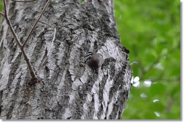 クヌギの木を登るメスカブト