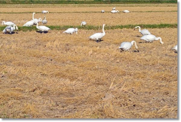 稲を刈り取った後の田んぼで餌をついばむ白鳥