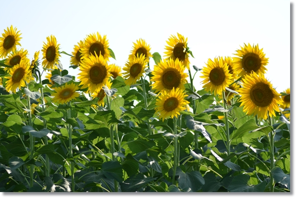 同じ方角を向くヒマワリの花
