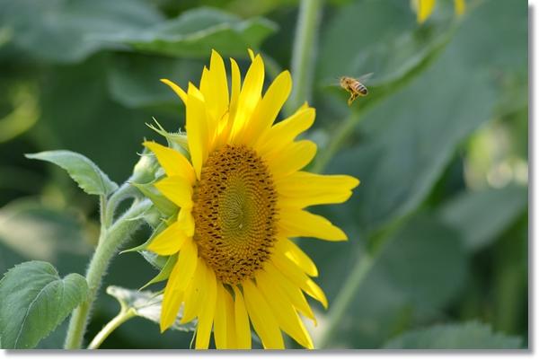 ヒマワリの花とミツバチ