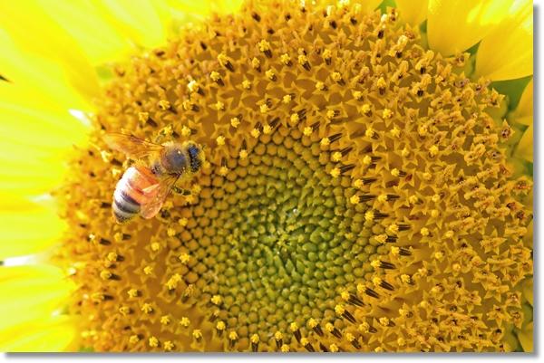 ヒマワリの蜜を吸うミツバチ