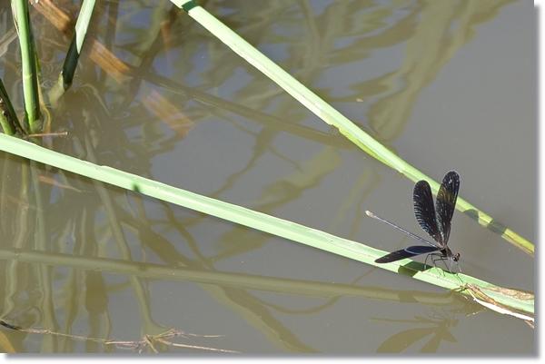 水辺の草にとまるハグロトンボ