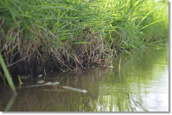 水生植物が生い茂る小川の水辺