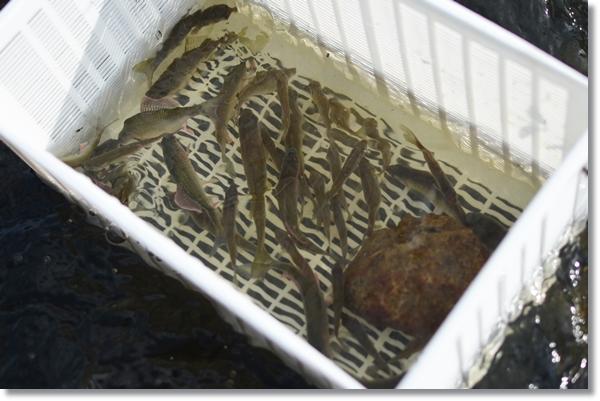 容器に入れられ水の中に浸されるタナゴ