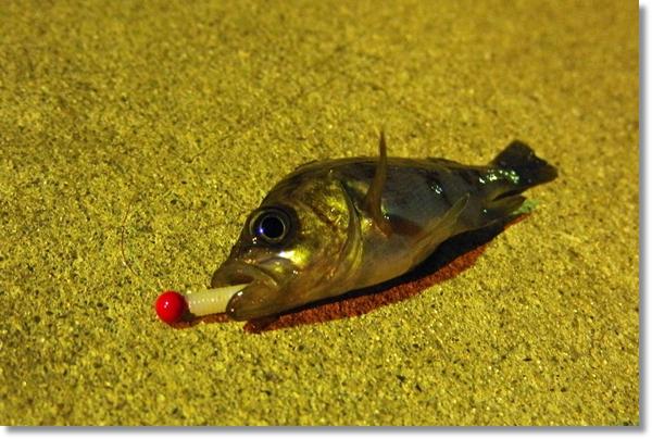 釣り上げて地面に横になったメバル