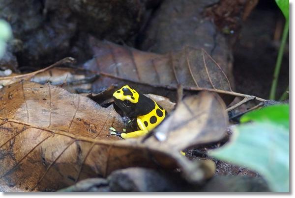落ち葉に隠れるキオビヤドクガエル